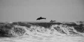 wave dolphins 1